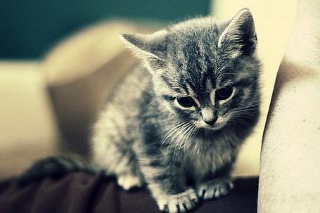Фото Маленький серый котёнок (© Яра), добавлено: 02.12.2011 13:34
