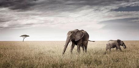 Фото Слониха и слонёнок ходят по полю (© Штушка), добавлено: 04.12.2011 19:20