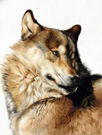 Фото Голова рыжего волка повернута в сторону (© Яра), добавлено: 04.12.2011 23:00