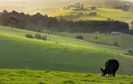 Фото Корова пасётся на лугу (автор Drew Nelson)