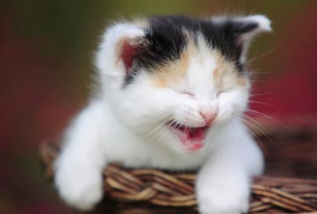 Фото Котенок в корзине улыбается (© StepUp), добавлено: 07.12.2011 20:14