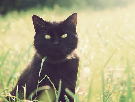 Фото Чёрный длинношерстный европейский кот стоит в траве на поляне (© TARAKLIA), добавлено: 07.12.2011 21:37