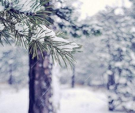 Фото Идёт снег, покрывая собой иголки ели,ветки голых деревьев,землю