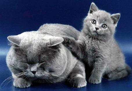 Фото Серые кошка и котёнок рядом (© Volkodavsha), добавлено: 10.12.2011 09:37