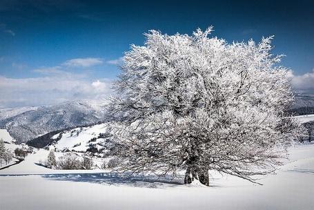 Фото красивое дерево в снегу (© Штушка), добавлено: 13.12.2011 23:20