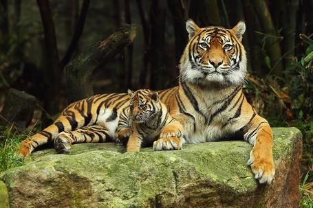 Фото Тигрица с малышом в зоопарке (© Anatol), добавлено: 14.12.2011 15:41