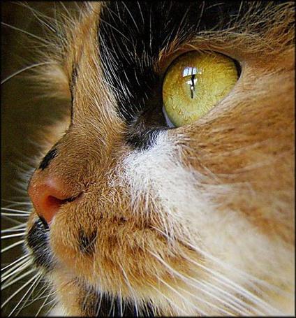Фото Кошачья мордашка крупным планом (© Anatol), добавлено: 15.12.2011 01:38