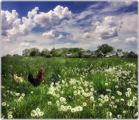 Фото Курицы пасутся на поляне одуванчиков