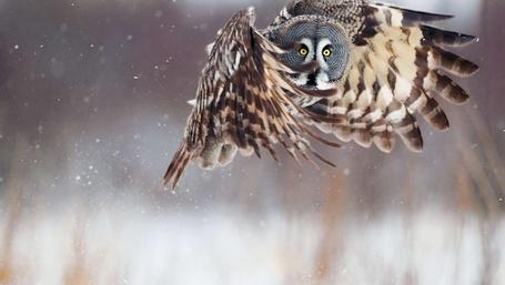 Фото Сова на охоте (© Anatol), добавлено: 25.12.2011 23:11