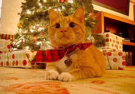 Фото Рыжий кот с сердцем на шее (© Штушка), добавлено: 27.12.2011 15:30