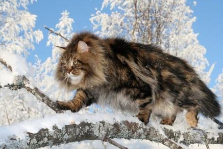 Фото Сибирский кот идёт по ветке (© Штушка), добавлено: 27.12.2011 15:40