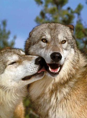Фото Волчья любовь