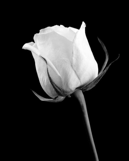 Фото Белая роза на чёрном фоне