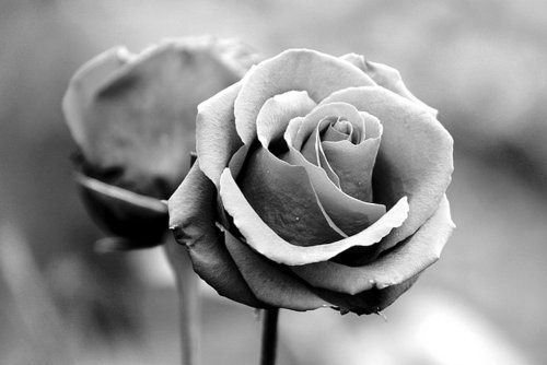 Розы чб