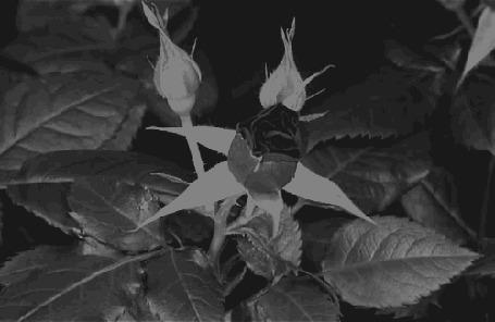 Фото Распускающийся куст роз (© Радистка Кэт), добавлено: 04.01.2012 19:06