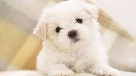 Фото Белый щенок (© Кофе мой друг), добавлено: 06.01.2012 13:31