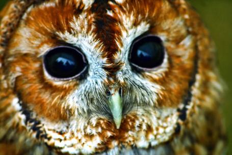 Фото Рыжая пучеглазая сова с пронзительным взглядом (Mark Nelson)