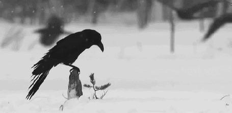 Фото Ворона сидит на камне