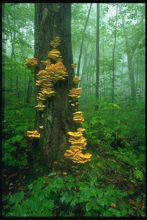 Фото Грибы растут на дереве (© Штушка), добавлено: 13.01.2012 00:01