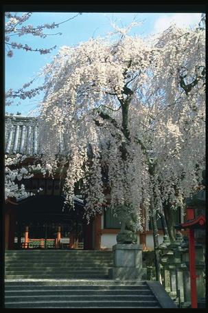 Фото Цветущая сакура возле здания (© Штушка), добавлено: 13.01.2012 00:06