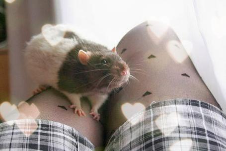 Фото Крыса сидит на коленях у девушки (© Флориссия), добавлено: 16.01.2012 20:04