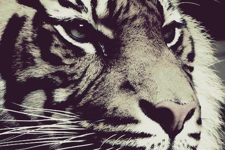 Фото Красивый тигр