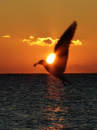Фото Чайка на закате (© Штушка), добавлено: 20.01.2012 11:07