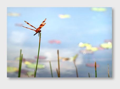 Фото Оранжевая стрекоза на травинке, Майкл Браун (© Штушка), добавлено: 27.01.2012 22:10