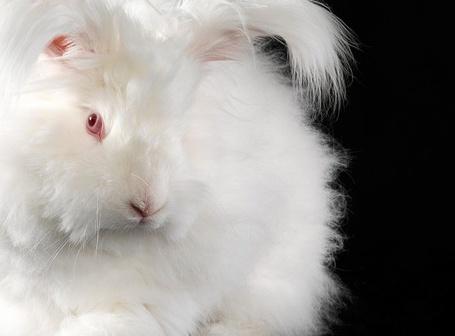 Фото Пушистый красноглазый кролик (Lennette Newell) (© Radieschen), добавлено: 28.01.2012 16:07