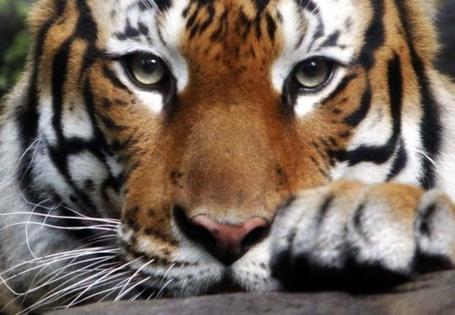 Фото Молодой тигр с красивым взглядом
