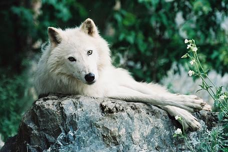 Фото Белый волк смотрит на людей (© BRODJaGA), добавлено: 29.01.2012 13:28