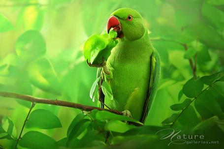 Фото Зеленый попугай ест экзотический фрукт (Nature, Фотограф Sasi - smit) (© Radieschen), добавлено: 03.02.2012 06:19