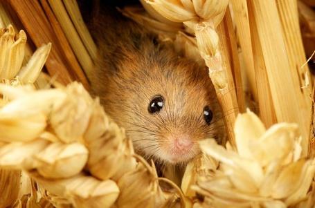 Фото Маленькая мышка среди колосков (Mark Bridger) (© Radieschen), добавлено: 07.02.2012 09:00