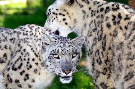 Фото Пара снежных леопардов, Mark Bridger (© Radieschen), добавлено: 07.02.2012 09:02