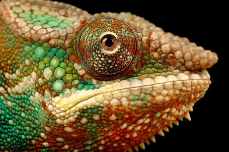 Фото Хамелион в профиль (Mark Bridger) (© Radieschen), добавлено: 07.02.2012 09:03