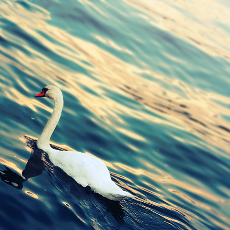 Фото Белый лебедь плывет по воде (© Rainy), добавлено: 12.02.2012 00:21