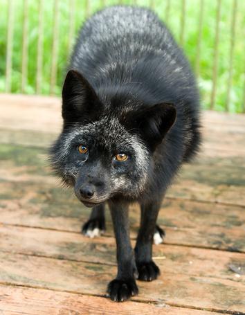 Фото Чёрнобурая лисица сидит в клетке и смотрит на нас (© BRODJaGA), добавлено: 15.02.2012 00:27