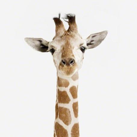 Фото Жираф на белом фоне (© Штушка), добавлено: 15.02.2012 15:15
