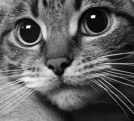 Фото Усатая и глазастая кошачья мордашка (© Malenkoe 4ydo), добавлено: 17.02.2012 20:01