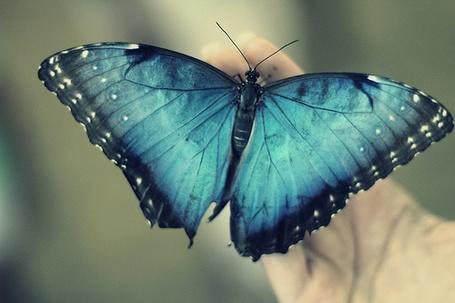 Фото Синяя бабочка на руке (© Радистка Кэт), добавлено: 18.02.2012 01:35