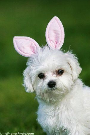 Фото Белая собачка с розовыми ушками (© Antuannet), добавлено: 18.02.2012 08:53