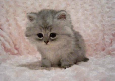 Фото Маленький котёнок облизывается, сидя на розовом покрывале (© BRODJaGA), добавлено: 19.02.2012 13:31