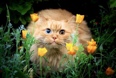 Фото Пушистый кот с разноцветными глазами сидит в цветах