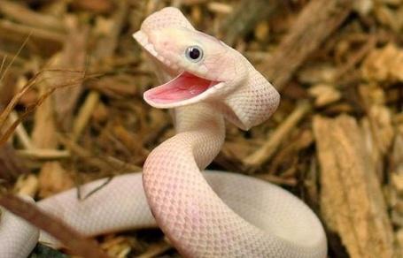 Фото Змея-альбинос (© Штушка), добавлено: 22.02.2012 18:48
