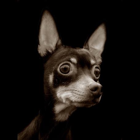 Фото Карликовый пинчер с невероятно большущими глазами (Фотограф Traer Scott) (© Malenkoe 4ydo), добавлено: 23.02.2012 09:01