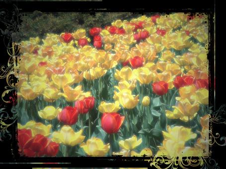 Фото Поляна тюльпанов (© Флориссия), добавлено: 23.02.2012 15:24