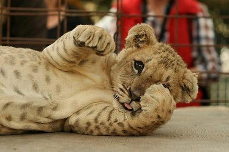 Фото Маленький тигренок (© Феминистка), добавлено: 23.02.2012 17:10
