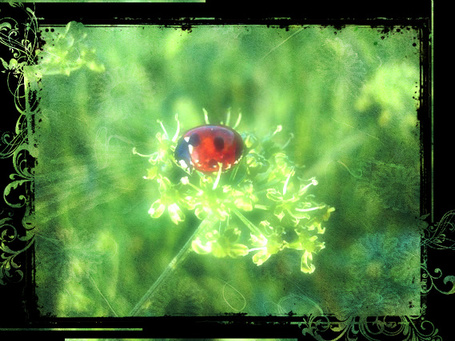 Фото Божья коровка на полевом цветке (© Флориссия), добавлено: 23.02.2012 18:46