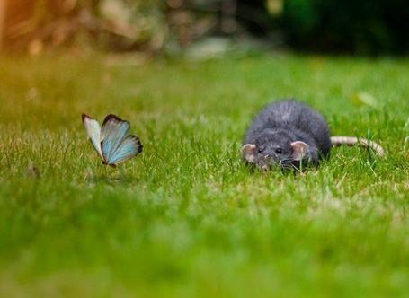 Фото Серая крыса охотится на бабочку (© Радистка Кэт), добавлено: 24.02.2012 22:23