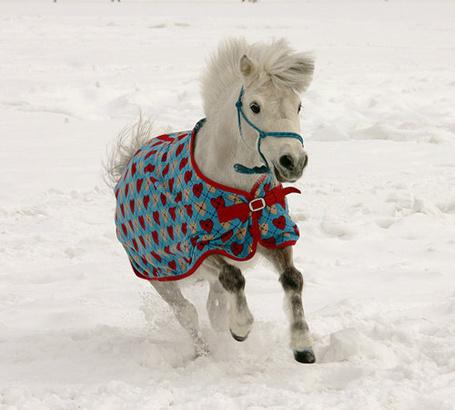 Фото Белый шотландский пони (© Штушка), добавлено: 25.02.2012 22:06